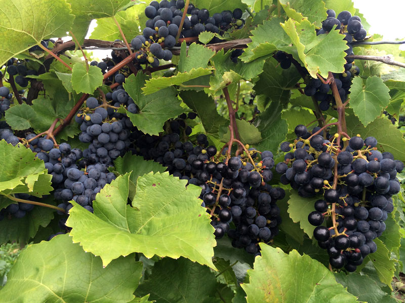 Grape Picking in Berrien Springs